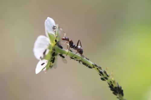 アブラムシを食べるアリ